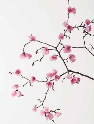 CherryBlossomBranch