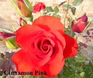 Rose1DarleneKoppel